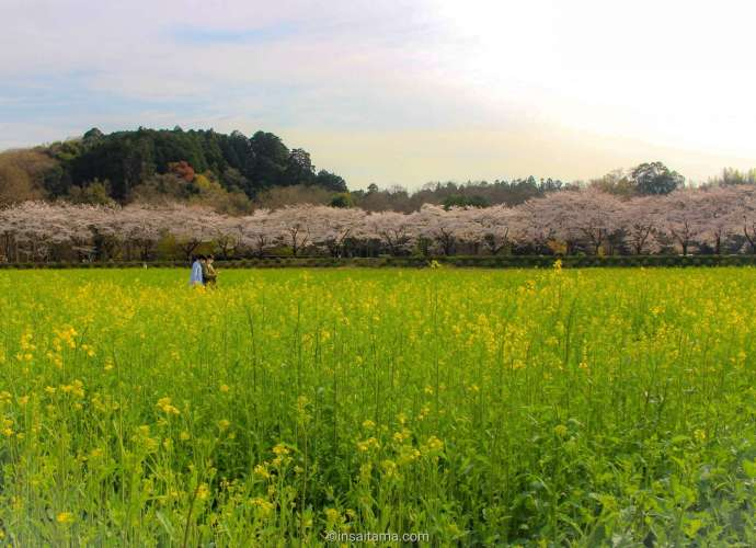 cherry blossoms and rapeseed Kinchakuda