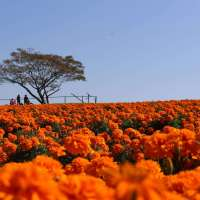 Seasonal blooms and Halloween at the scenic Marigold Hill | HONJO
