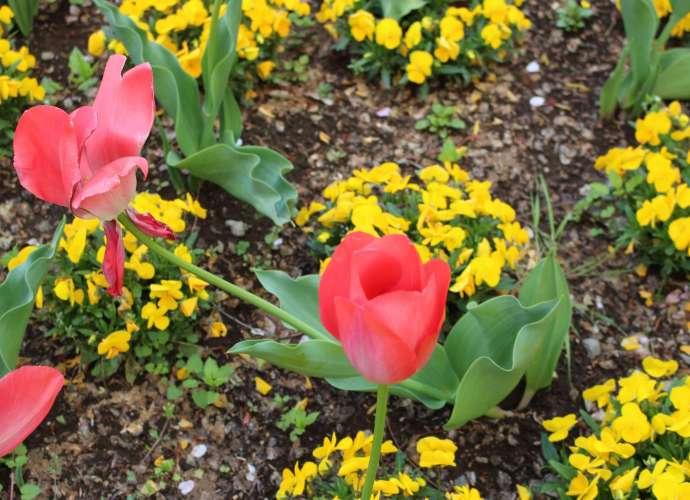Koshigaya tulips