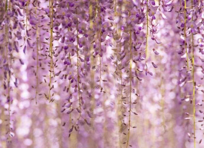 wisteria ushijima