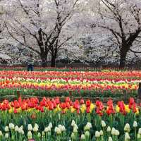 Photo Friday: tulips and sakura at Fukaya Green Park