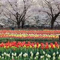 Photo Friday: tulips and sakura at Fukaya Green Park