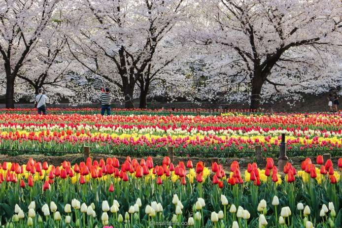 tulips and cherry blossoms Fukaya Green Center