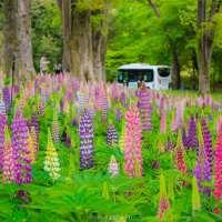 Lupine Flowers and Bike rental at Shinrin Park in Saitama Prefecture
