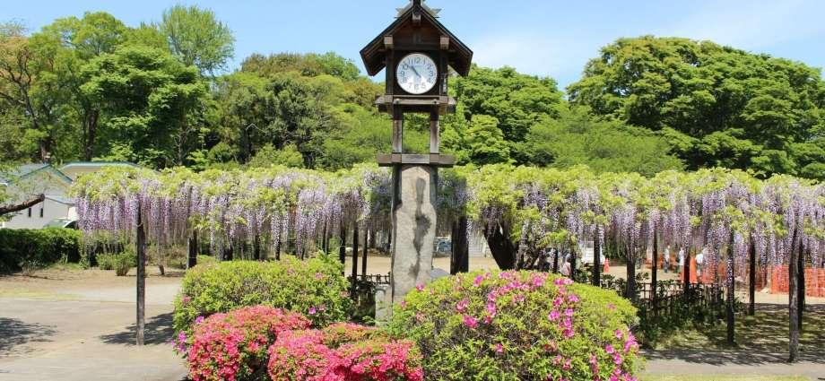Wisteria at Tamashiki Shrine