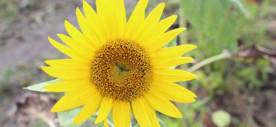 sunflower for the Niiza Sunflowers project post