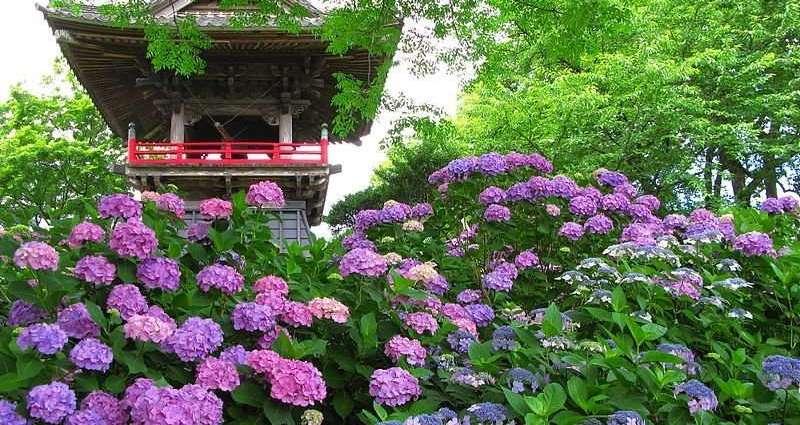 Nogoji Hydrangea in Saitama Prefecture Japan