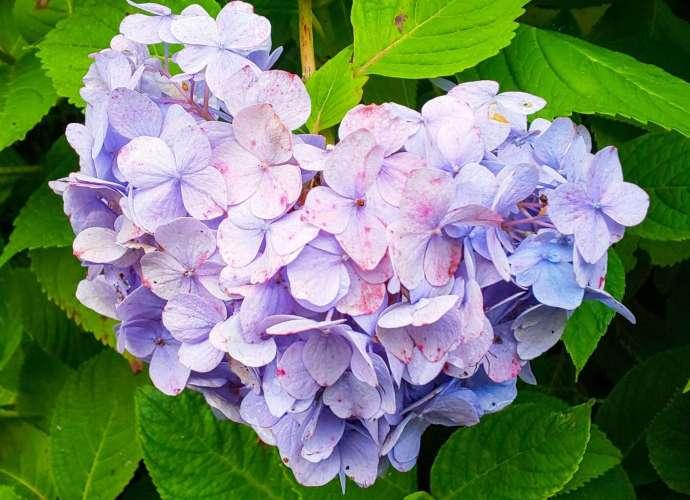 Hydrangea Saitama Prefecture