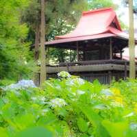 The hydrangea shrine in Saitama City