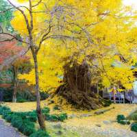 10 places for Gingko trees in Saitama Prefecture