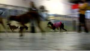 italian greyhounds playing