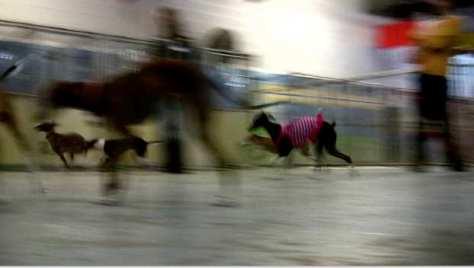 italian greyhounds playing
