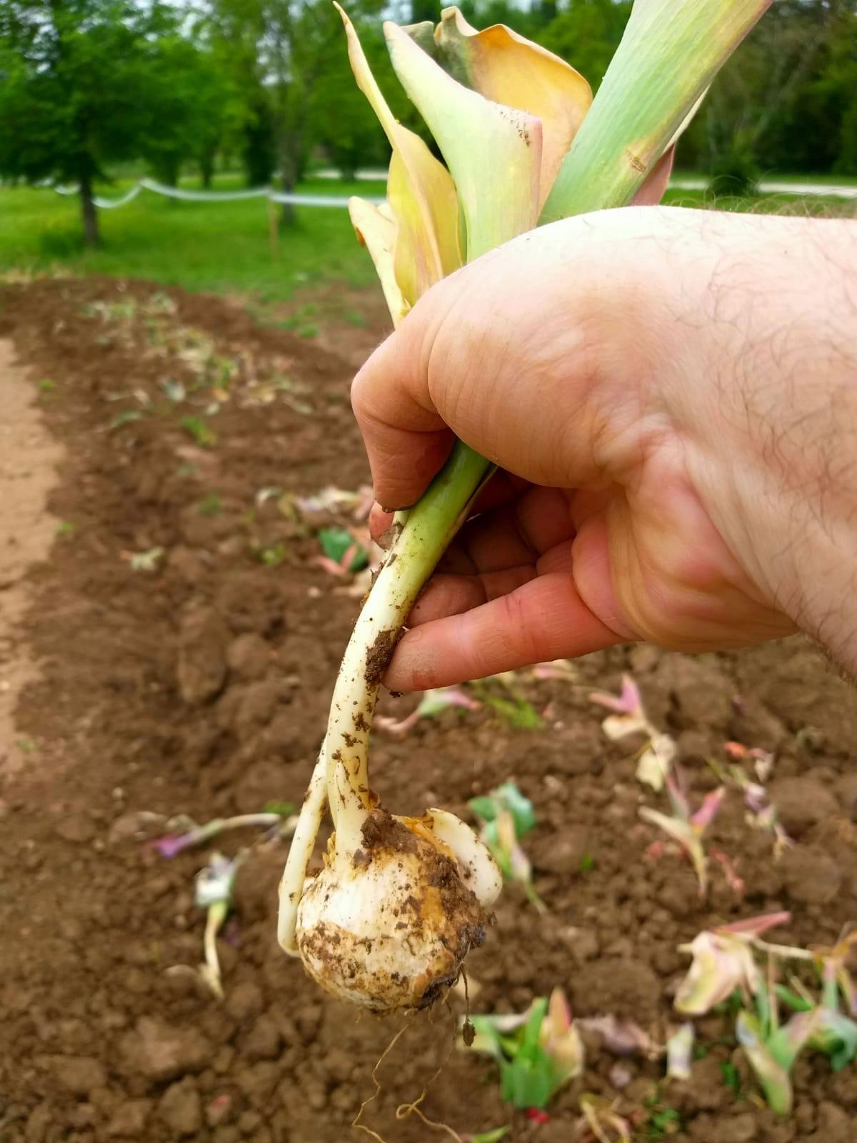 bulbi tulip 3