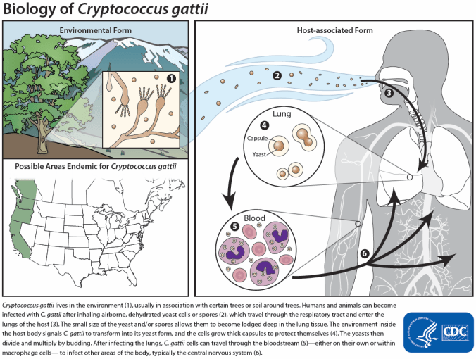 Cryptococcus gattii biology