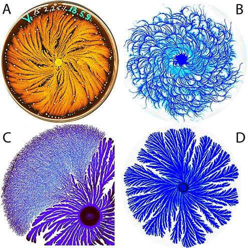 Paenibacillus colony morphologies, courtesy: Eshel Ben-Jacob, Tel Aviv University