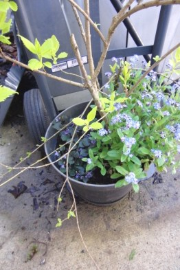 Forsythia in the pot