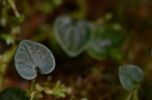 Peperomia reptans