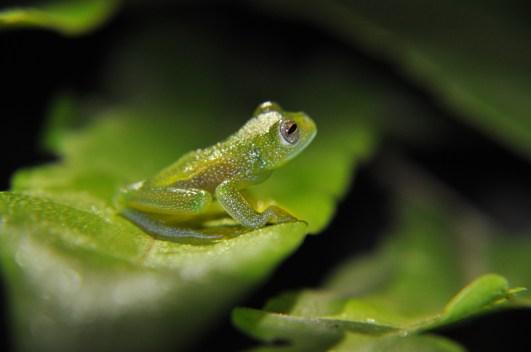 Glassfrog