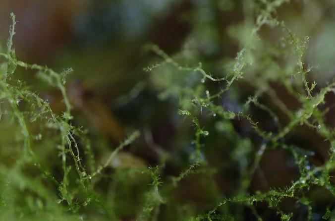Peruvian micro-veil moss