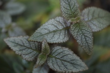 Gesneriad dark silver peru