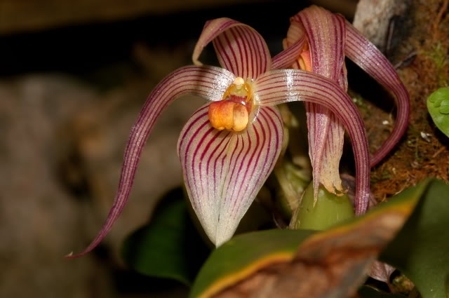 Bulbophyllum inunctum