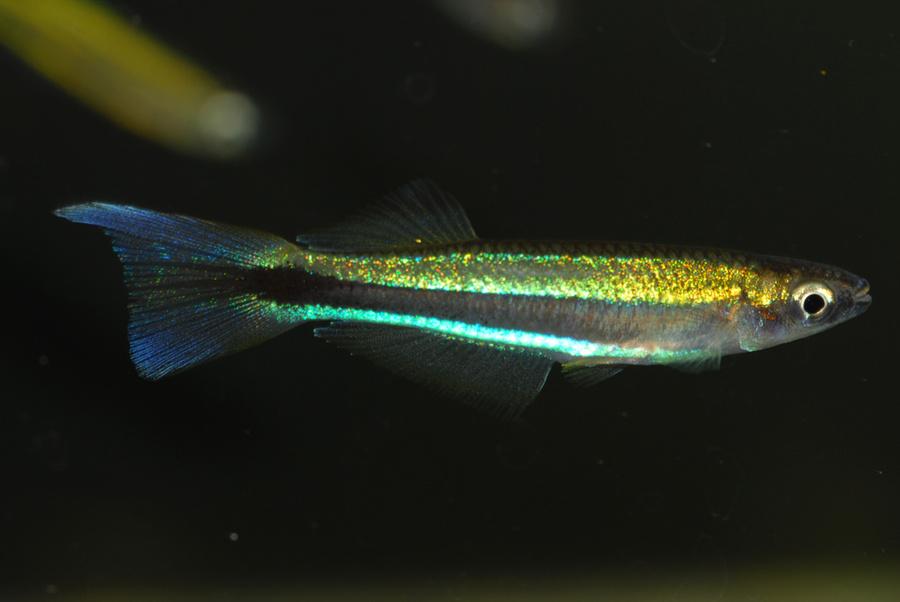 Plataplochilus species Fougamou
