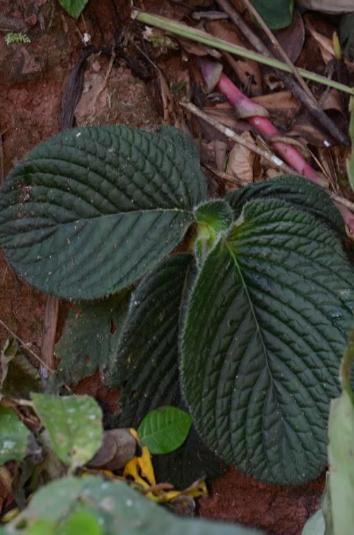 Nautilocalyx species Peru