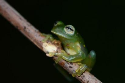 Glass frog, Peru