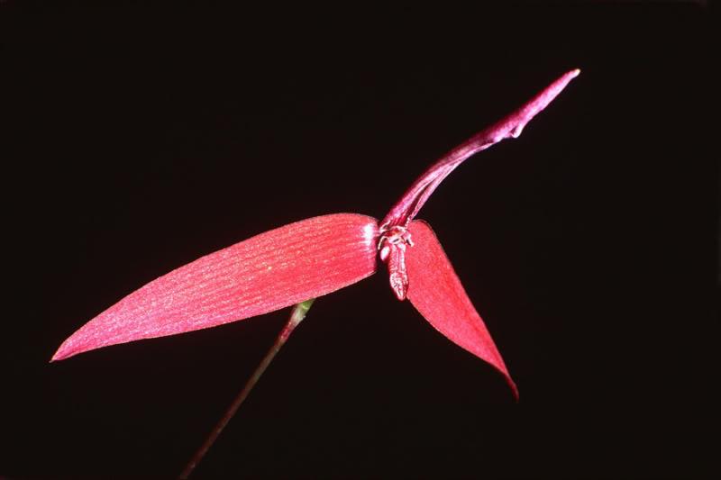 Bulbophyllum quadrangulare
