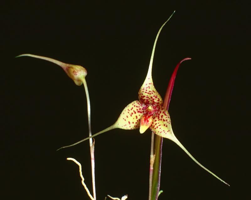 Bulbophyllum chimaera