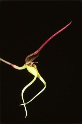 Bulbophyllum tricanaliferum