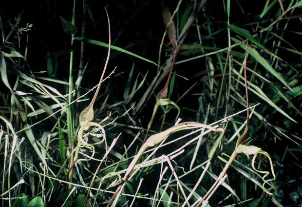 Bulbophyllum tricanaliferum Anggi Lakes