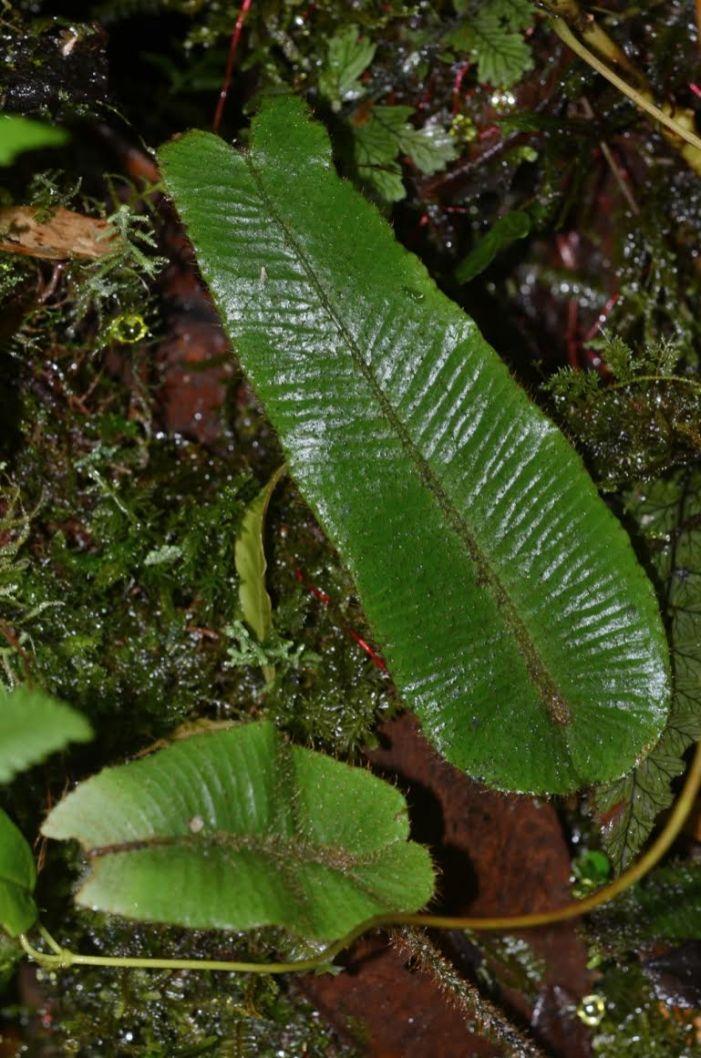 Elaphoglossum exsertipes