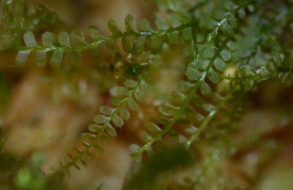 Plagiochila species Panama