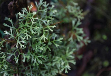 Elaphoglossum tripartitum