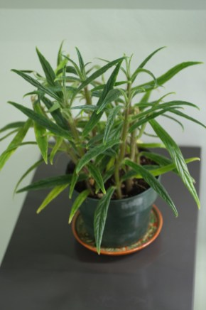 Columnea flexiscopa