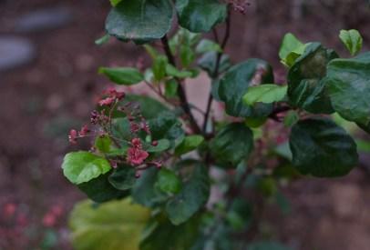 Ribes vibumifolium