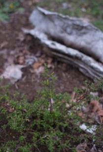 unknown coenanthus species?