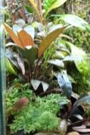Dicranopygium