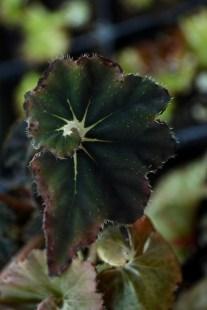 begonia black truffle