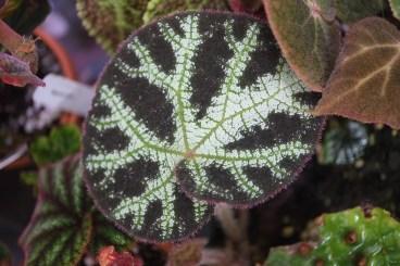 Begonia ningmingensis 'Vietnam'