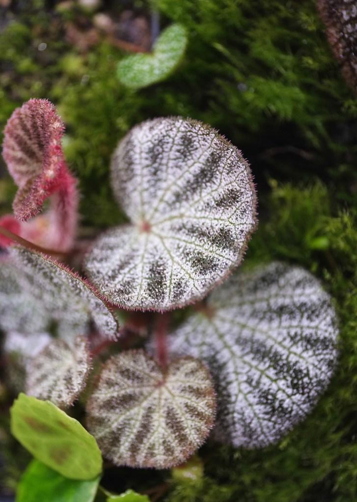 Begonia nimgmingensis 'Bella'