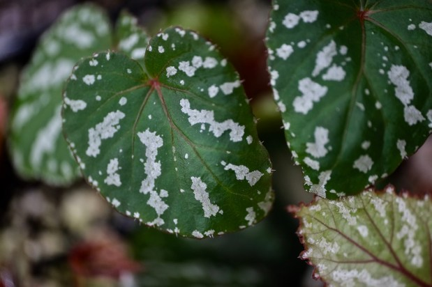Begonia sp. Komnei