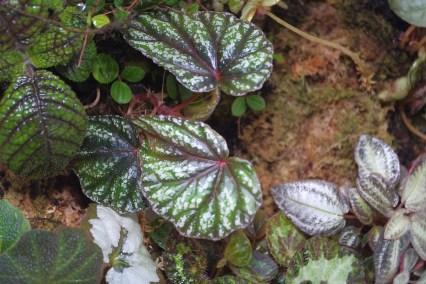 Begonia handelii var prostrata and Nautilocalys rugosa