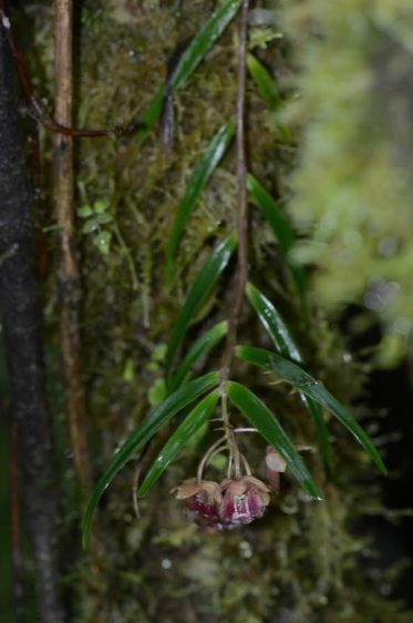 Epidendrum species
