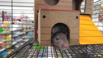 Фирми за унищожаване на гризачи 1 - сиви мишки