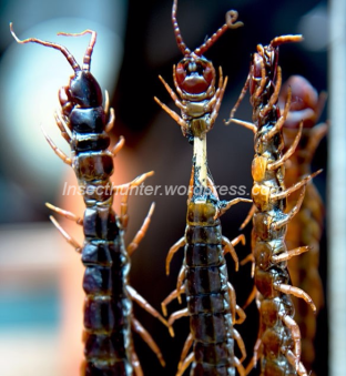 centipedes-2