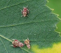 Orientus ishidae (nymphs)