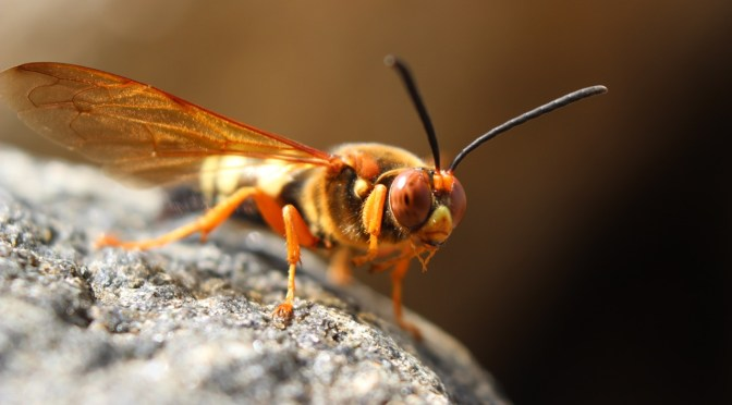 Asian Giant Hornets?—Nope!