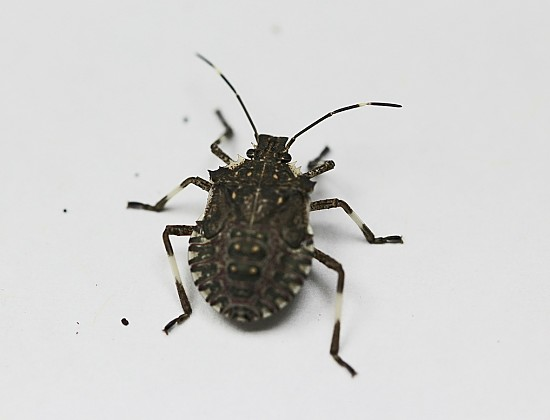 #8: Reports of juvenile brown marmorated stink bug indicate that this invasive species is reproducing the in the state. Photo Credit: PJ Liesch, UW Insect Diagnostic Lab.